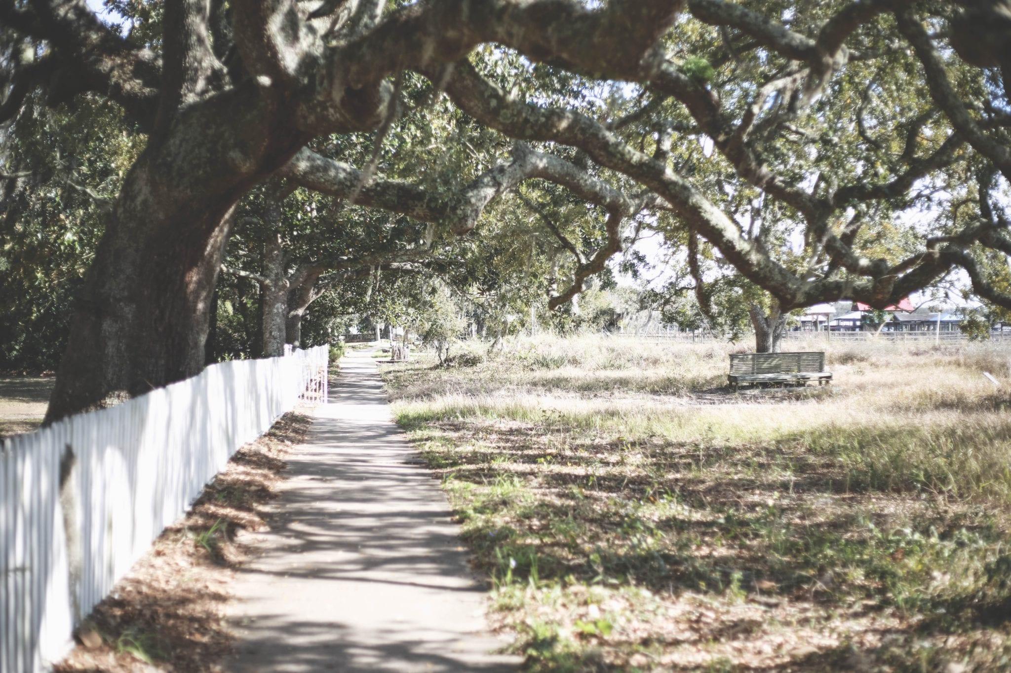 Heritage Oak Tree Austin